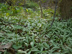 "Trout Lily leaves • <a style=""font-size:0.8em;"" href=""http://www.flickr.com/photos/92887964@N02/8691092802/"" target=""_blank"">View on Flickr</a>"