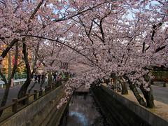 3453 Jushi River Cherry Blossoms (mari-ten) Tags: park tree nature japan spring  cherryblossom  kansai mie 201104 eastasia  yokkaichi 2011    20110410 jushiriver