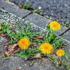 Lwenzahn (Haeppi) Tags: flower dandelion blume bordstein lwenzahn strasenrand