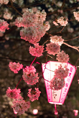 (yanoks48) Tags: japan night tokyo  cherryblossom   meguroriver