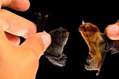 Black myotis / Riparian myotis