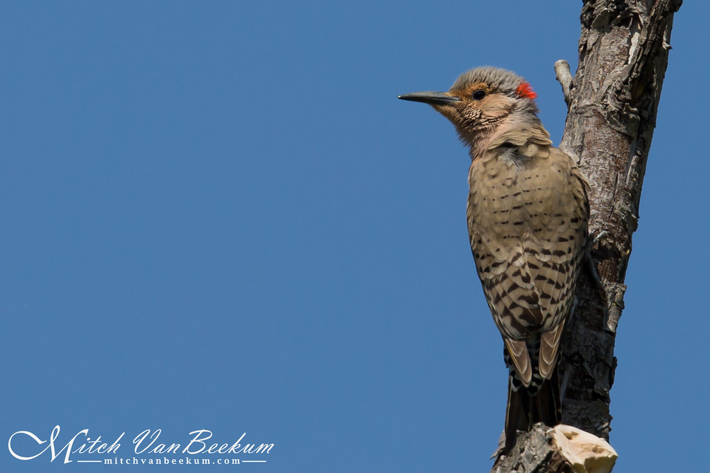 A Flicker on Flickr... Ha! (Male Northern Flicker)