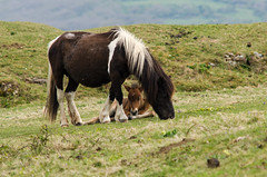 Dartmoor pony male foal between mother's legs (Ian Redding) Tags: old uk wild england horses horse baby brown white black nature coast mare natural little small ponies care breed lying colt offspring hardy feral rarebreed foal dartmoorpony