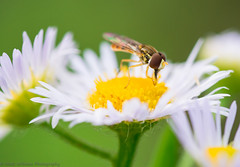 Flower fly (Matt Williams Gallery) Tags: flowers flower macro green nature yellow closeup bug insect fly spring wings nikon colorful dof bokeh northcarolina sunny raleigh pollen wildflower invertebrate fineartphotography naturephotography greenwaytrail d7100 mattwilliamsphotography