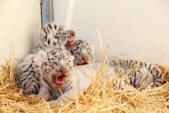 cirque-1183-3 (cvaranges) Tags: animals circus tiger animaux cirque tigre fauve tigreblanc bbtigre