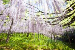 2016 #1 (kobaken++) Tags: flower nature japan canon lens toy eos mirror reflex fuji outdoor niagara donut 5d wisteria 2012 gunma markii  rens  mark2  mirrorlens naiagara  rubinar kobaken