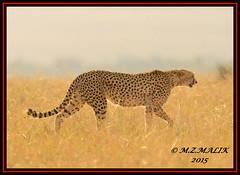 FEMALE CHEETAH (Acinonyx jubatus).....MASAI MARA....SEPT 2015. (M Z Malik) Tags: africa nikon kenya wildlife ngc safari npc cheetah kws masaimara flickrbigcats exoticafricancats d800e exoticafricanwildlife 400mmf28gedvr