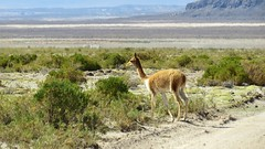 - 2016-05-05 at 20-06-56 + vicuna at the Salt Hotel