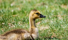 Canadian Goose Baby Chick (KWinters Photography) Tags: baby green bird nature colors grass animal yellow closeup landscape nikon colorado flickr bokeh outdoor wildlife feathers sigma canadian goose chick nikondigital flickrnature nikonflickraward nikondsl 150600mm