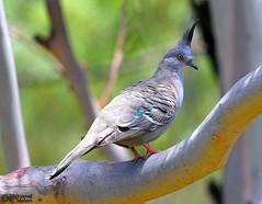 Crested Pigeon (Ocyphaps lophotes) (Mahmoud R Maheri) Tags: tree bird branch pigeon australia melbourne crestedpigeon ocyphapslophotes banyuleflatsreserve