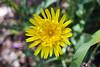 IMG_7247 (Alessandro Grussu) Tags: canon 20d fiore flower blumen blum flowers fiori pianta plant pflanze macro tarassaco dente leone dandelion löwenzahn taraxacum