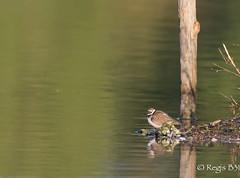 Au piquet... (Rgis B 31) Tags: bird oiseau arige charadriiformes littleringedplover charadriusdubius petitgravelot mazres charadriids domainedesoiseaux