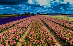 Tulip (markchan0516) Tags: pink flowers blue light red sky white flower holland netherlands beautiful beauty yellow clouds garden spring purple tulips tulip lisse