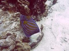 Koh Tao (Scuba Diving), Thailand (Jan-2016) 14-080 (MistyTree Adventures) Tags: ocean sea fish water thailand twins marine asia seasia underwater outdoor diving scubadiving kohtao gulfofthailand panasoniclumix