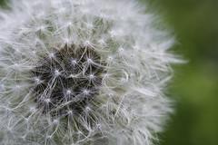 Nuisance (jldm_76) Tags: plant weed nikon lawn seed dandelion tokina d7200
