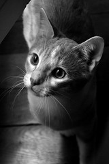 Winston (morganebocquillon) Tags: blackandwhite cats animals cat canon chats chat noiretblanc