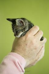Lola (*Greenbottle*) Tags: cat kitty gato greenbottle gatita fostercat fosterkitty catphotography animalesenadopcin gatitaenadopcin