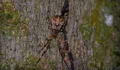 Episinus sp. (dustaway) Tags: nature rainforest australia nsw arthropoda rotarypark arachnida lismore araneae theridiidae araneomorphae australianspiders northernrivers episinus spintharinae spideronbark