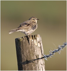 Meadow Pipit (jenny*jones) Tags: canon naturalworld westyorkshire windblown naturephotography meadowpipit birdphotography anthuspratensis eveningsunlight gtbritain windblownfeathers pipitonapost canon7dmarkii spring2016 sigma150600mmc 668a0094