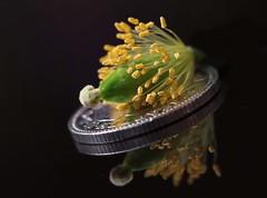 Beauty lies within (jeannie debs) Tags: orange flower nature yellow stamen poppy welsh wildflower stigma anthers meconopsiscambrica macromondayssmallerthanacoin