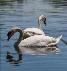 Quiet Couple (Jay:Dee) Tags: topw toronto photo walks topwdbrf16 dragon boat race festival swan bird avian