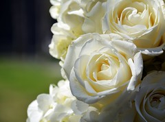 White Roses (Billy W Martins ) Tags: park nyc newyorkcity roses white ny newyork spring nikon memorial worldtradecenter wtc groundzero springtime 911memorial whiteroses d7100
