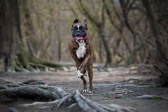 Happiness (Tams Szarka) Tags: dog pet animal puppy outdoor nature forest boxerdog boxer happy running