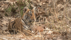 Tiger Cub in India (Raymond J Barlow) Tags: travel india wildlife tiger adventure phototours raymondbarlow