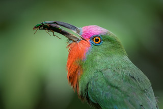 Red-bearded Bee-eater with prey