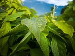 after the rain (Paschalis Lappas) Tags: green nature water rain drops