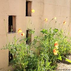 Little lamps in my garden (Chris Coeur) Tags: flowers light luz wall fleurs pared lumire poppies mur amapolas coquelicots floras