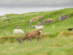 """We are all friends"", Uig, Isle of Lewis, June 2016 (allanmaciver) Tags: sheep stag seagull western isles lewis island uig west nature eating friends hillside allanamaciver"