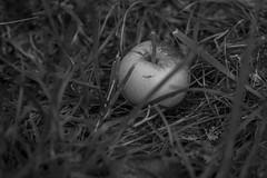 apple, fallen, grasses, Asheville, NC, Nikon D40, nikon nikkor 105mm f-4, 6.16.16 (steve aimone) Tags: apple grasses asheville nc nikond40 nikonnikkor105mmf4 primelens nikonprime blackandwhite monochrome monochromatic macro