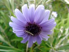 New Zealand Daisy (stuartcroy) Tags: orkney island newzealanddaisy flower green garden insects beautiful blue purple
