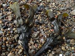 Blastang (Eva the Weaver) Tags: beach algae