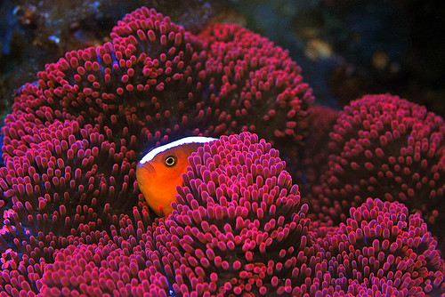 Mini Carpet Anemone Clownfish Carpet Vidalondon