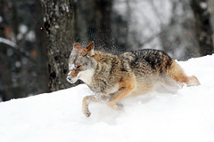 Dashing Through The Snow (affinity579) Tags: coyote winter wild snow canada animal nikon quebec wildlife running dashing montebello 2xteleconverter omegapark specanimal d700