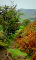 Hawthorn Haven meets Brazen bracken (Dazzygidds) Tags: green track path derbyshire trail bracken nationaltrust hawthorn darkpeak peakdistrictnationalpark highpeak mamtor castleton winnatspass hopevalley peverilcastle ancienttrees hawthorntrees veteranhawthorntrees brackentextures