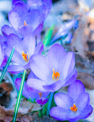 A sign of Spring (mayaplus) Tags: blue flower macro texture spring crocus