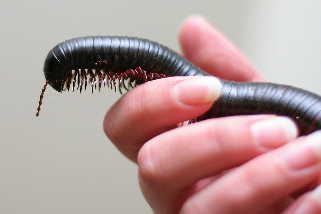 The World's Best Photos of african and millipede - Flickr ... Giant Millipede Pet