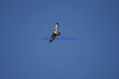 DSC01126 (Mark Coombes Photography) Tags: buzzard birdofprey blueskybird