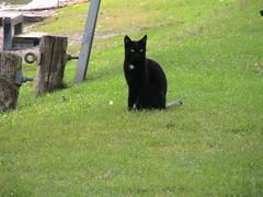 Black cat in Caslano (Emerald Ann) Tags: cats black gatti blackcats caslano gattonero