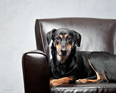 Kayce got to sit in my chair.... (chad.latta) Tags: portrait dog chien animal chair serious bean perro strobe plm kayce strobist chadlatta ldlportraits