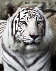 Project Flickr Week-9 Patterns White tiger at  Audubon Zoo in New Orleans (praline3001) Tags: louisiana feline tiger neworleans whitetiger bengaltiger projectflickr audobonzoo leucistic supershot canonrebelt3i rememberthatmomentlevel1 audoboninstitute