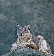 Snow Leopard (whoisnd) Tags: snow colors rock proud fauna canon fur eyes leopard 70200 snowleopard claws 1d4 1div
