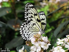 Idea Leucone - Leucon (Sarah-Vie) Tags: butterfly papillon idealeucone leucon