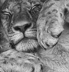 Five Minutes Peace ! (wendysalisbury) Tags: sleepy lioness masaimara wendysalisbury