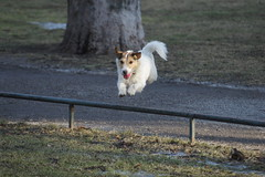 the perfect jump (The Happy Household) Tags: park pink dog color angel ball jack toy outside photography jump jumping wings friend jrt play sweden stockholm walk colorphotography buddy dude terrier angels inside playfull jackrusselterrier mate jackrussel angelwings whitewings pawl