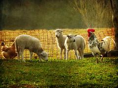 Los Corderitos y el Gallo (Geli-L) Tags: naturaleza textura gallo asturias soe corral oveja granja gallina cordero greatphotographers fz28 magicunicornverybest