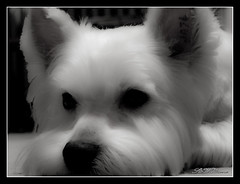 Fluffy new haircut (AFEXPhotography) Tags: blackandwhite dog white black west up photoshop puppy photography fuji close poland canine terrier highland adobe shade desaturation finepix westhighlandterrier szczecin photomatrix cs5 s100fs fujifinepixs100fs stswilliams